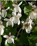 ST0104 : Violets, Cranishaies Lane by Derek Harper