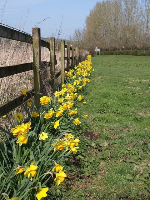 Daffodils by the B3181