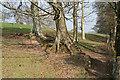 SX5550 : Brixton: path by Beech trees by Martin Bodman