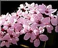 SO6424 : Prunus cerasifera 'Nigra' by Jonathan Billinger