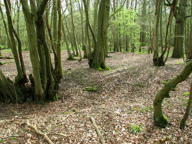 Middle Wood, Upper Billingford