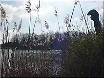 NT6578 : Rural East Lothian ; Argus at Seafield Pond, Belhaven by Richard West