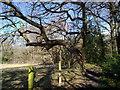 NZ1557 : Old Oak by Robert Graham