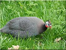 TQ1876 : Guinea fowl in Kew Gardens by Robert Lamb