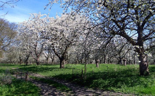 Cherry Orchard, Harwell