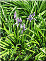 TG0741 : The first bluebells, beside the path to Lawn Farm by Evelyn Simak