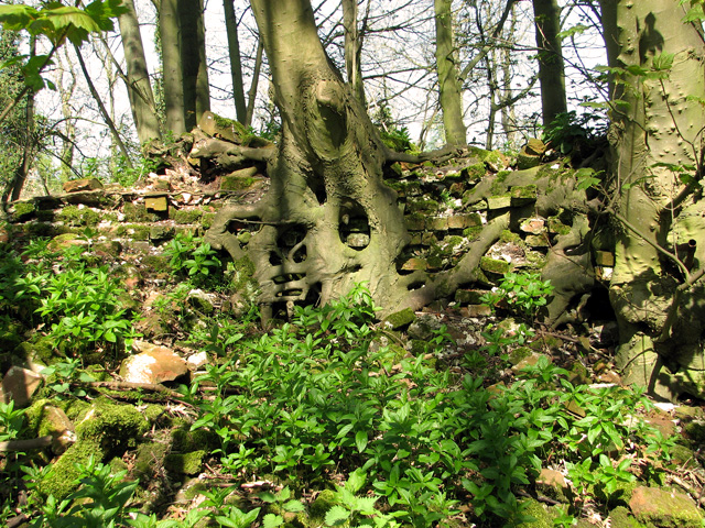 Tree roots growing over a wall, Arminghall