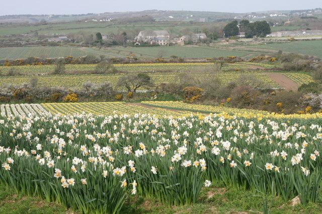 Daffodils at Higher Boscadjack