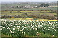 SW6631 : Daffodils at Higher Boscadjack by Elizabeth Scott