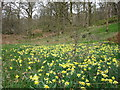 SD3487 : Daffodil Dell by Peter Turner