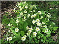 SU3113 : Wild Primrose flowers, Winsor Lane by Alex McGregor