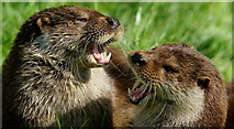 TQ3643 : Singing Otters? by Peter Trimming