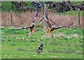 SN9867 : Red Kites and Buzzard, Gigrin Farm by Christine Matthews