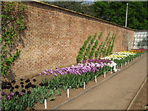 ST5071 : Tulips in the walled garden at Tyntesfield Park by don cload
