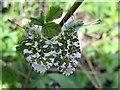 NZ1365 : Orange Tip butterflies (Anthocharis cardamines) by Andrew Curtis