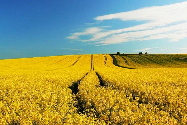 Oilseed rape crops near Shipley Bottom, Wiltshire