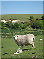 TV5897 : Ewe and lamb by Oast House Archive