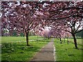 SE3054 : Cherry Tree Walk by DS Pugh