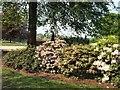 TQ2629 : Azaleas in Nymans Gardens by Paul Gillett