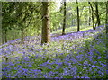 ST6763 : Bluebells, Stantonbury Hill by Neil Owen