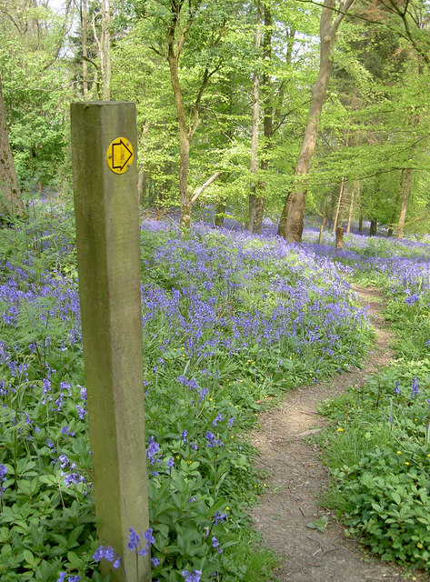 Bluebells this way