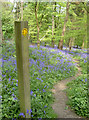 ST6763 : Bluebells this way by Neil Owen