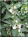 SU0725 : White dead-nettle (Lamium album),  Faulston Lane by Maigheach-gheal