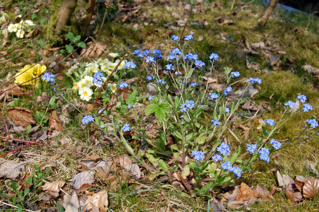 Hope Woodlands : Forget-me-nots