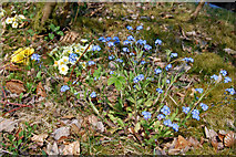 SK1789 : Hope Woodlands : Forget-me-nots by Ken Bagnall