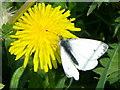 SU0725 : Green Veined White (Pieris napi), Faulston by Maigheach-gheal