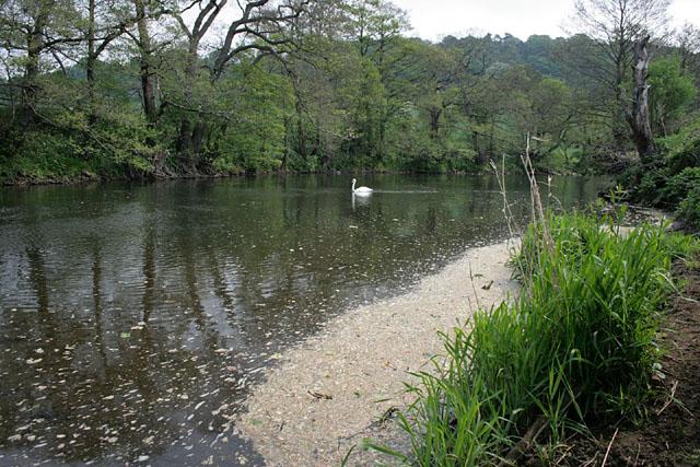 A swan on the Derwent