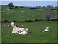 SD5688 : Sheep and lambs relaxing, Old Hutton by Karl and Ali