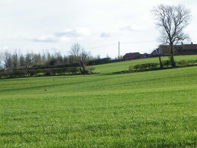 Grass crop near Middleton Tyas