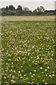 SU0195 : Field of dandelions by Philip Halling