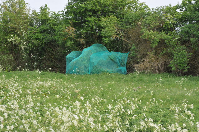 Netting over a hedge at Kerswell Green