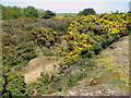 TM4875 : Gorse growing in the Southwold railway cutting, Walberswick Common by Evelyn Simak