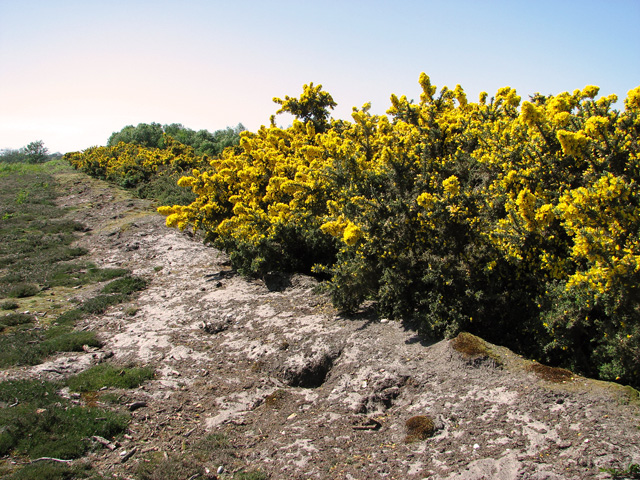 Flowering gorse by the Southwold railway cutting, Walberswick Common