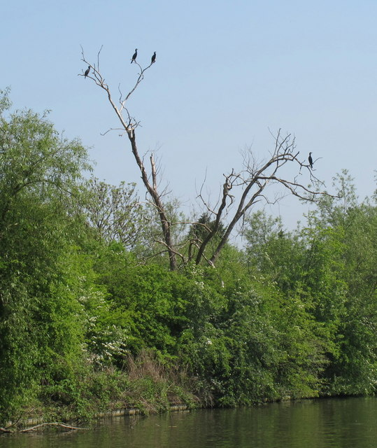 Cormorants by the Grand Union Canal