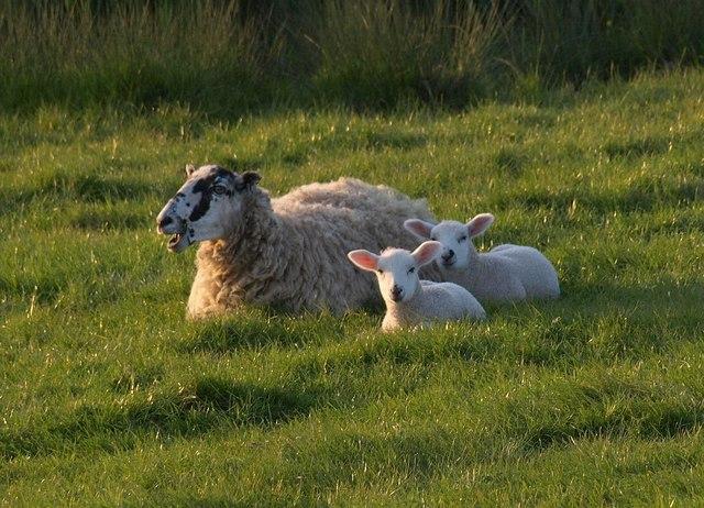 Ewe and lambs, Pentireglaze