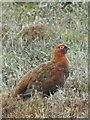NZ0600 : Red Grouse (Lagopus lagopus scoticus) by Maigheach-gheal