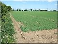 TF8332 : Crop of peas near Syderstone by Richard Humphrey