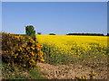 NU0440 : Rape Field near Kyloe Cottage by wfmillar