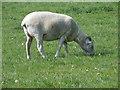 SU0625 : Wiltshire Horn ewe, Bishopstone by Maigheach-gheal