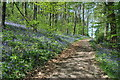 SO6921 : Bluebells in Bearfoot Wood by Philip Halling