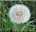 SJ9594 : Dandelion clock (close up) by Gerald England