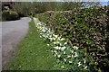 SJ4161 : Daffodils on the Eaton Estate by Jeff Buck