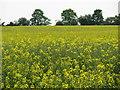 SP6729 : Field of oil-seed rape near Hillesden by Sarah Charlesworth