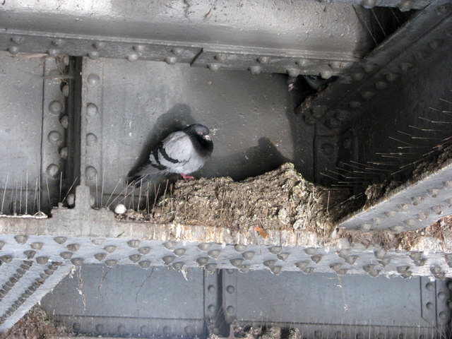 Nottingham Canal: roosting pigeons by John Sutton