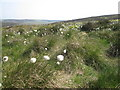 SJ9964 : Cotton Grass by Peter Turner