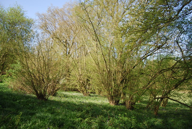 Coppiced trees by The Greensand Way